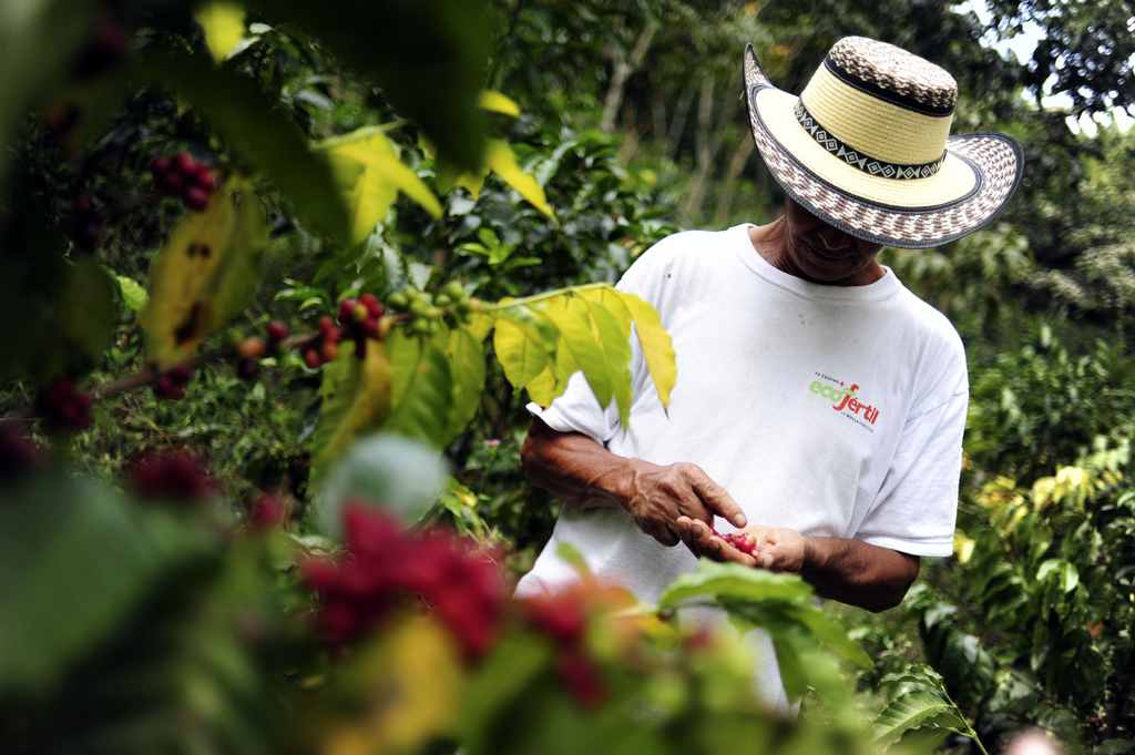 This is an image of coffee farmer in Colombia, picking coffee beans